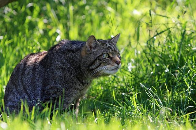 Chat sauvage écossais